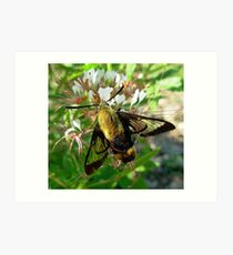 Hummingbird Clearwing Sphinx Moth Art Print