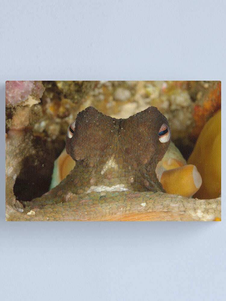 Alternate view of Common Sydney Octopus - Octopus tetricus Canvas Print