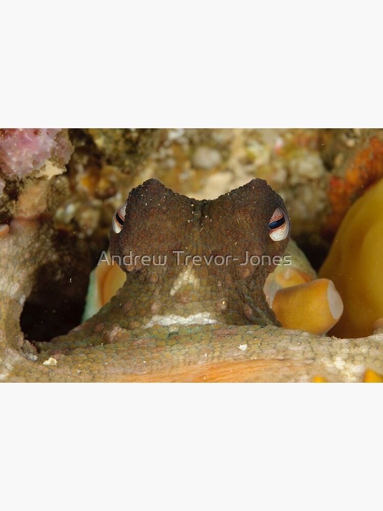 Common Sydney Octopus - Octopus tetricus by andrewtj