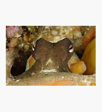 Common Sydney Octopus - Octopus tetricus Photographic Print