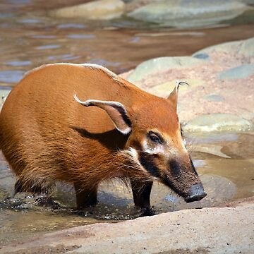 Red River Hog by venny