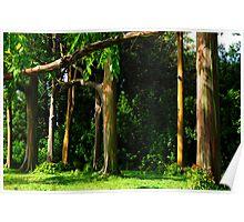 Rainbow Eucalyptus .... Poster