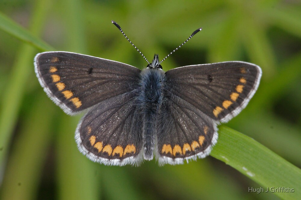 Brown Argus butterfly by Hugh J Griffiths