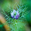 Nigella dreams of Spring by Sue Frank