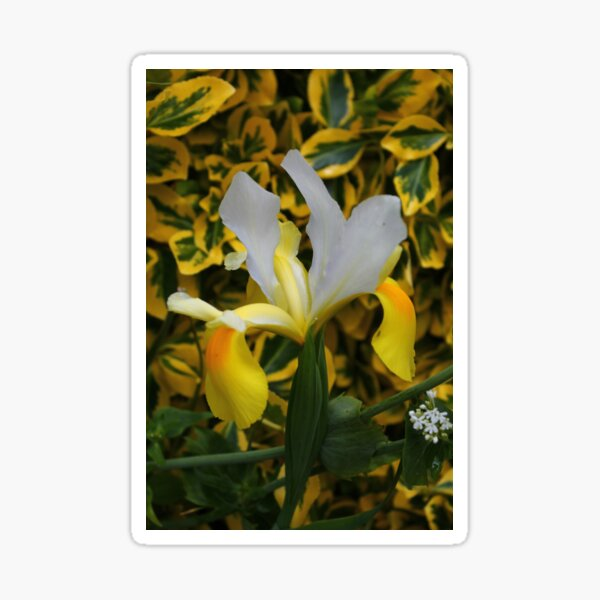 Beautiful Iris. Sticker