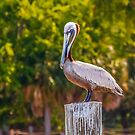 Pelican Perched on Post by dbvirago