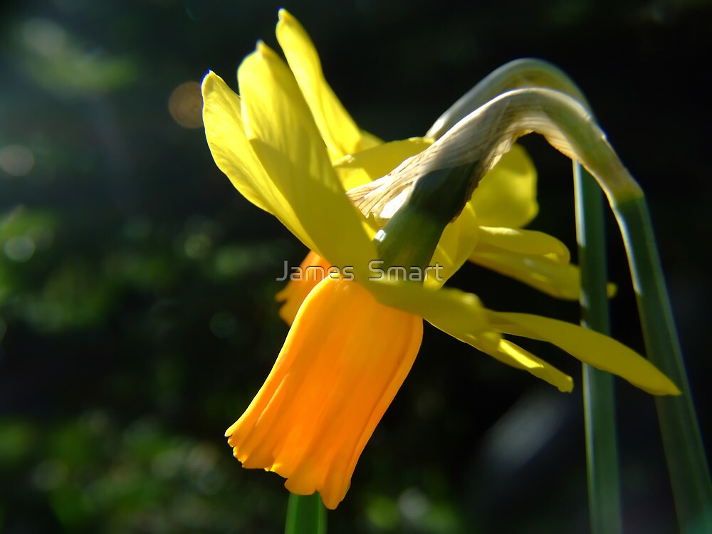 Spring Daffodils by James  Smart