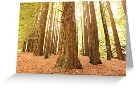 Californian Redwoods, Otways National Park, Australia by Michael Boniwell