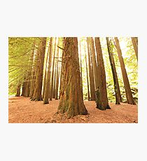 Californian Redwoods, Otways National Park, Australia Photographic Print