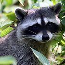 Raccoon  by RichImage