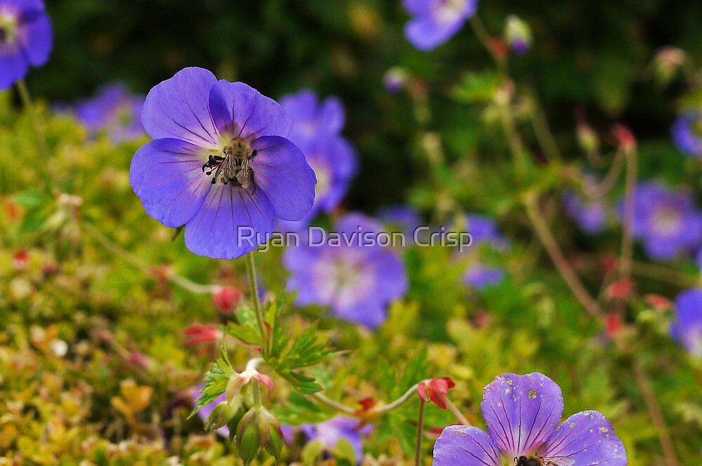Purple Attraction by Ryan Davison Crisp