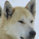 Hard Working Musher Dog by HoneyMyrtle