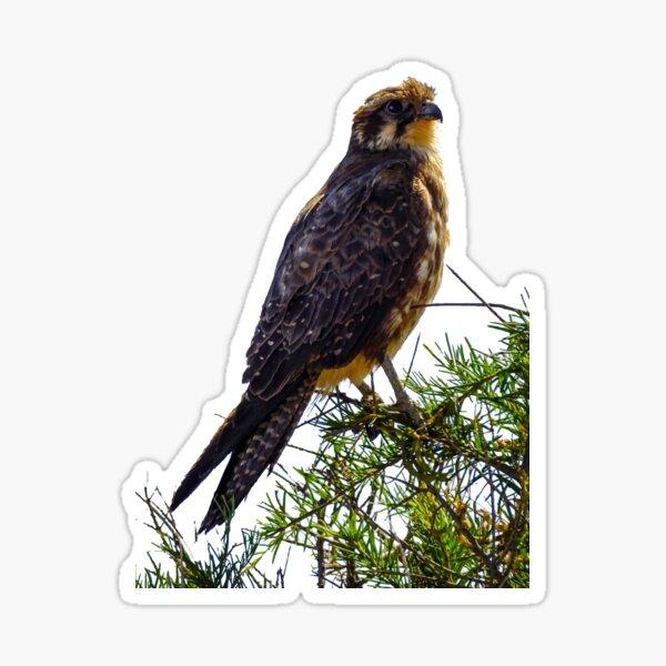 Sea Eagle Sticker