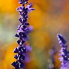 orange and purple  by Manon Boily