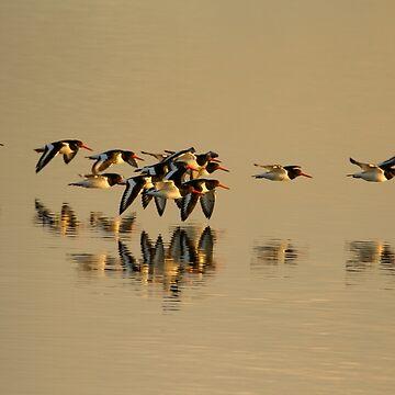 Oystercatchers in flight by jon77lees