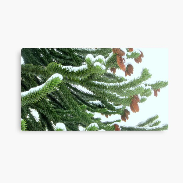 Snow covered Monkey Tree branches Metal Print