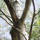 Graceful Birch by photolodico
