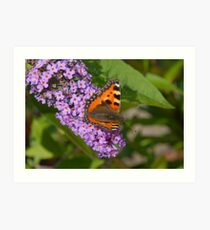 Butterfly on my Buddleia Art Print