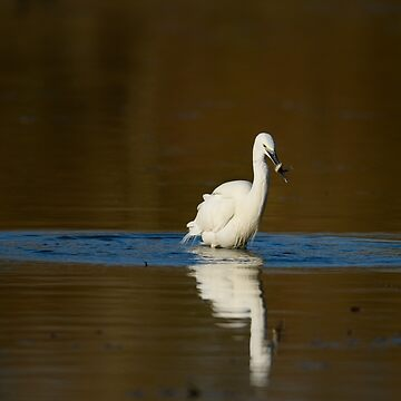 Success! Little Egret fishing, Lago di Alviano, Umbria, Italy by AndyJones