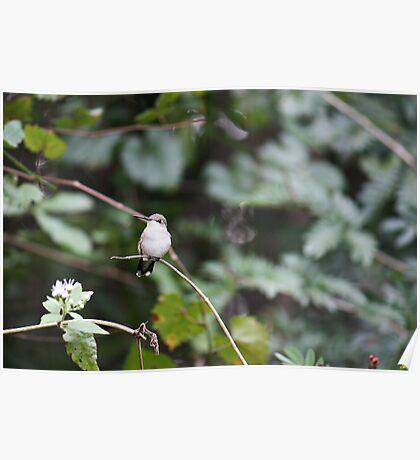 Ruby throated Hummingbird II Poster