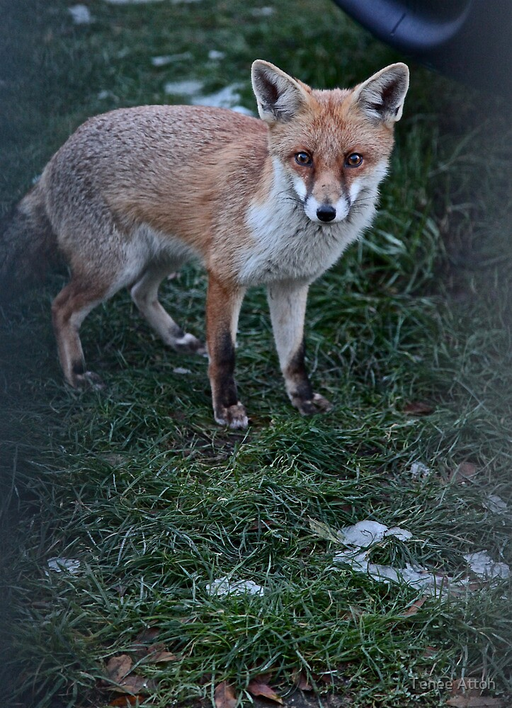 COLD FOX by Tenee Attoh