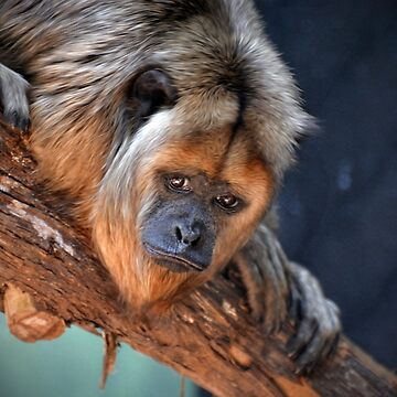 Black and Gold Howler Monkey by venny