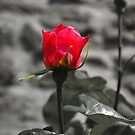 Rose red... by Bru66