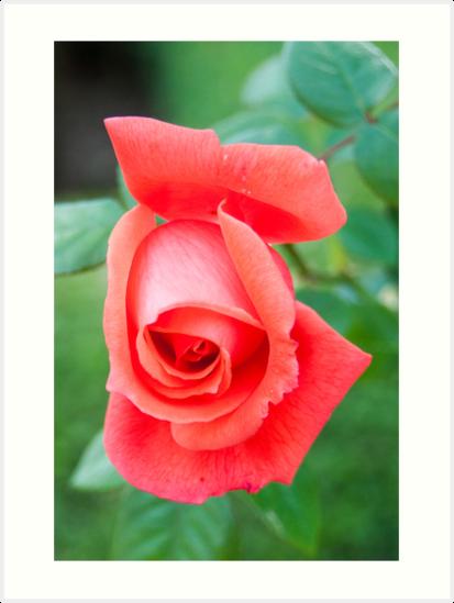 Red Rose 1 by Ken Koury