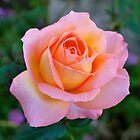 Peachy Pink Rose by Penny Smith