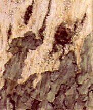 Tree Trunk by Richard  Tuvey