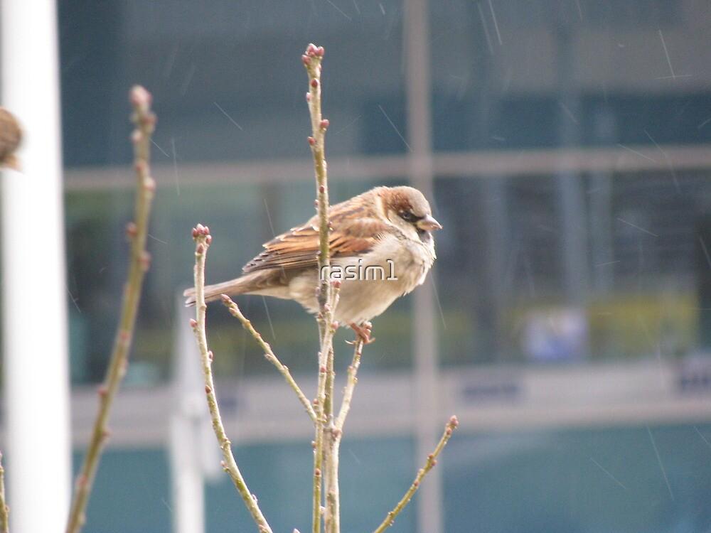 A sparrow by rasim1