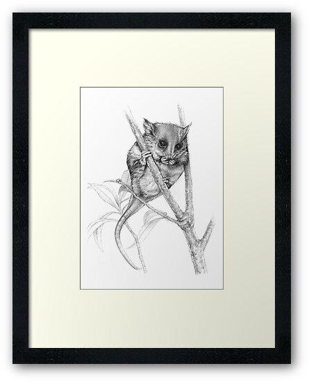 Pigmy Possum by Lyell Dolan