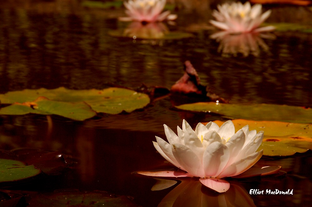 Lily Pads and Flower by Elliot MacDonald