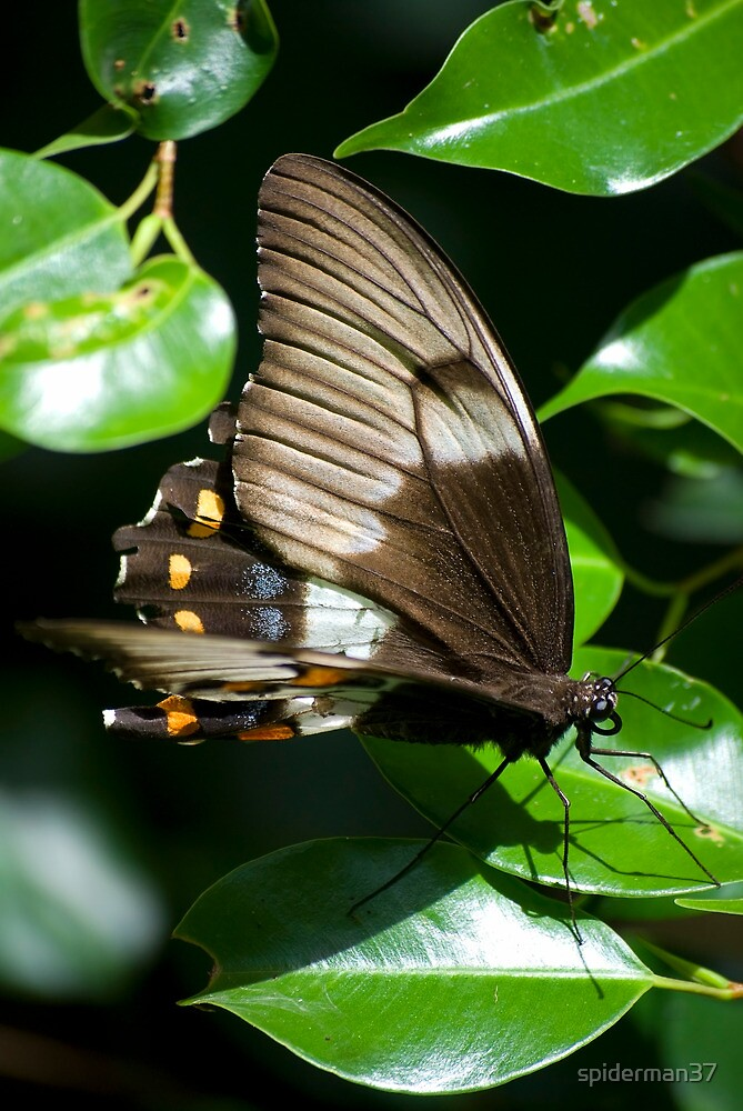 Butterfly - Australia by spiderman37
