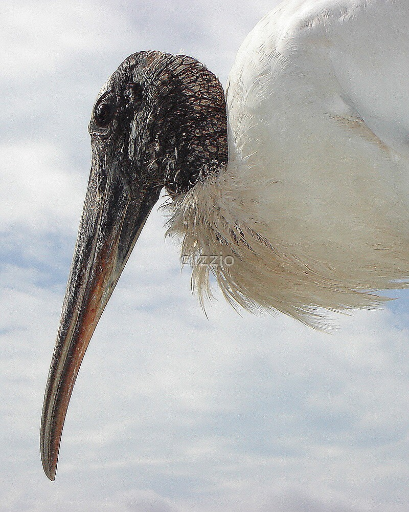 Woody the Wood Stork  by clizzio