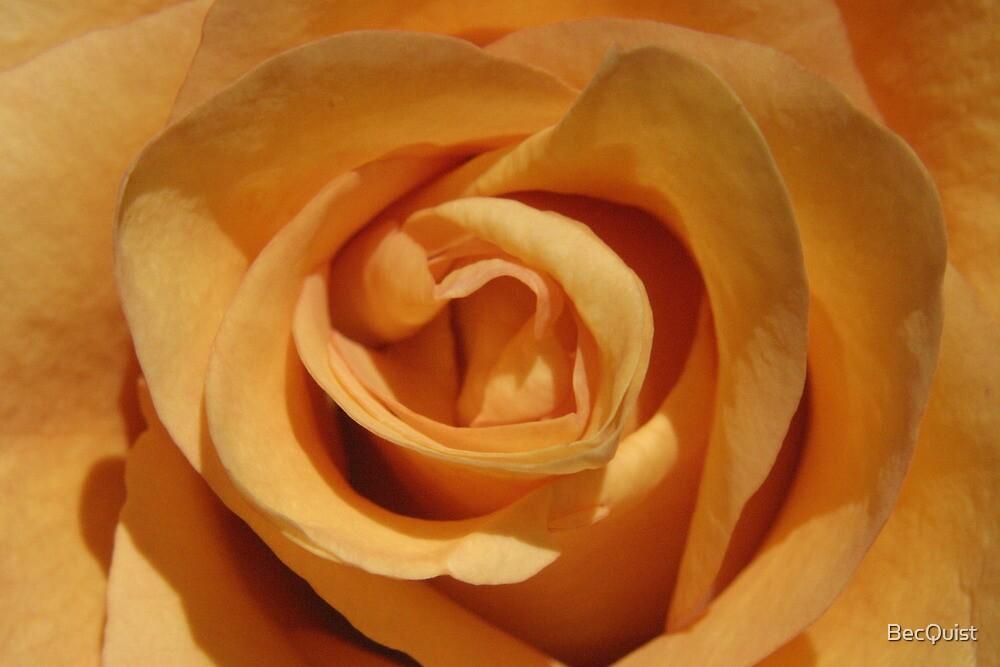 Orange rose 2 by BecQuist