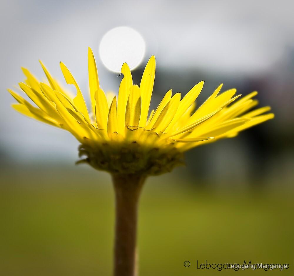 Behold the yellow beauty by Lebogang Manganye