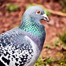 Pigeon by Leon Woods