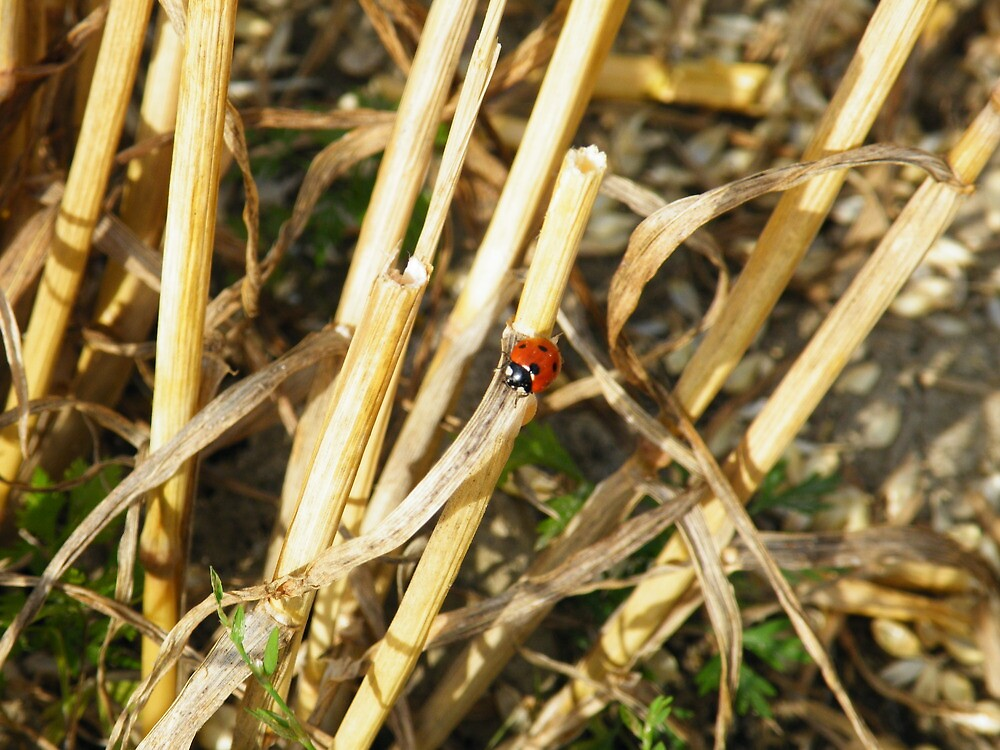 Lady-bug in harvest-time by mariamagdalena