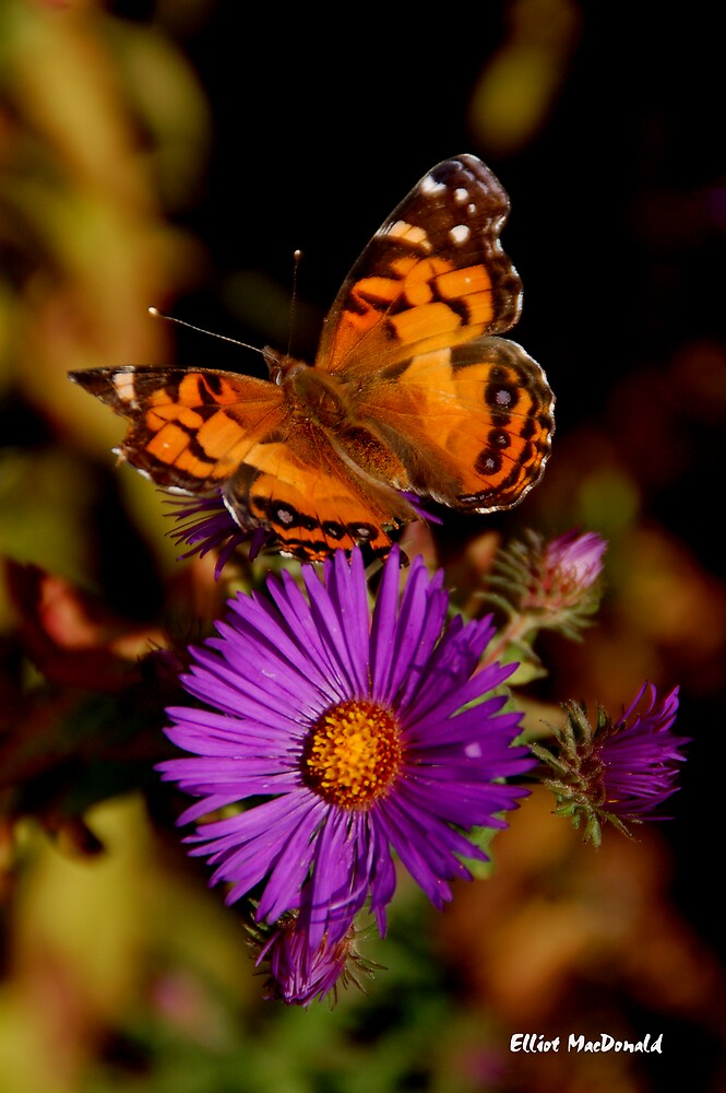 Butterfly and Flower by Elliot MacDonald