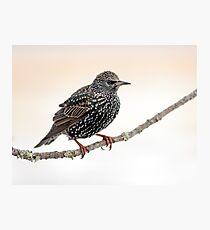Starling Photographic Print