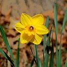 Daffy by Imagery