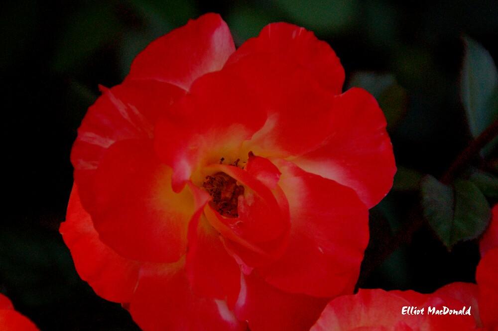 A rose arose. by Elliot MacDonald