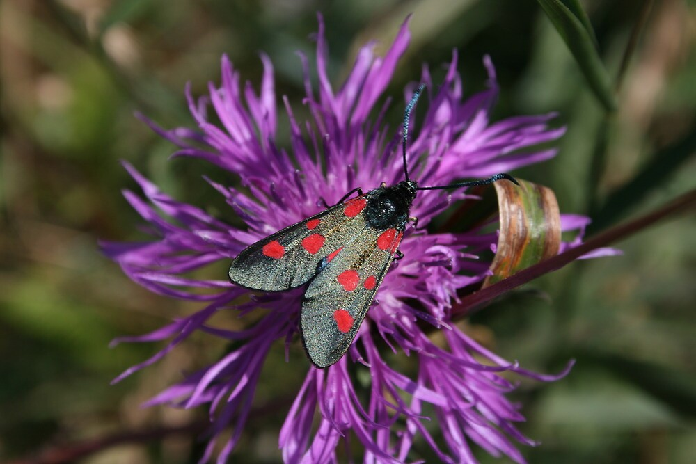 Narrow Bordered 5 Spot Burnet Moth by Dave Godden