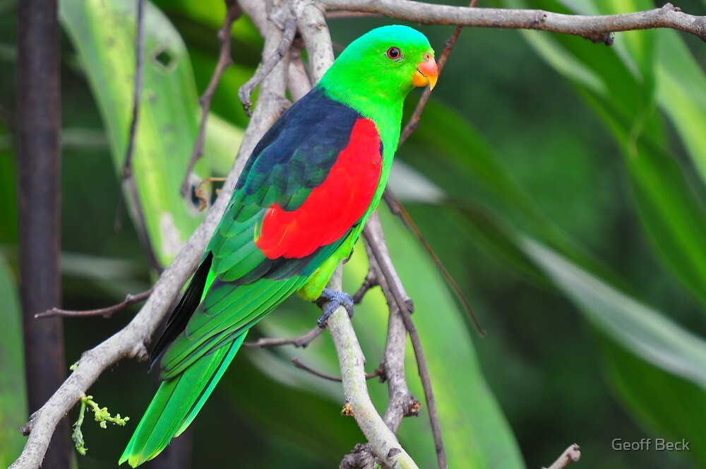Red Wing Parrot by Geoff Beck