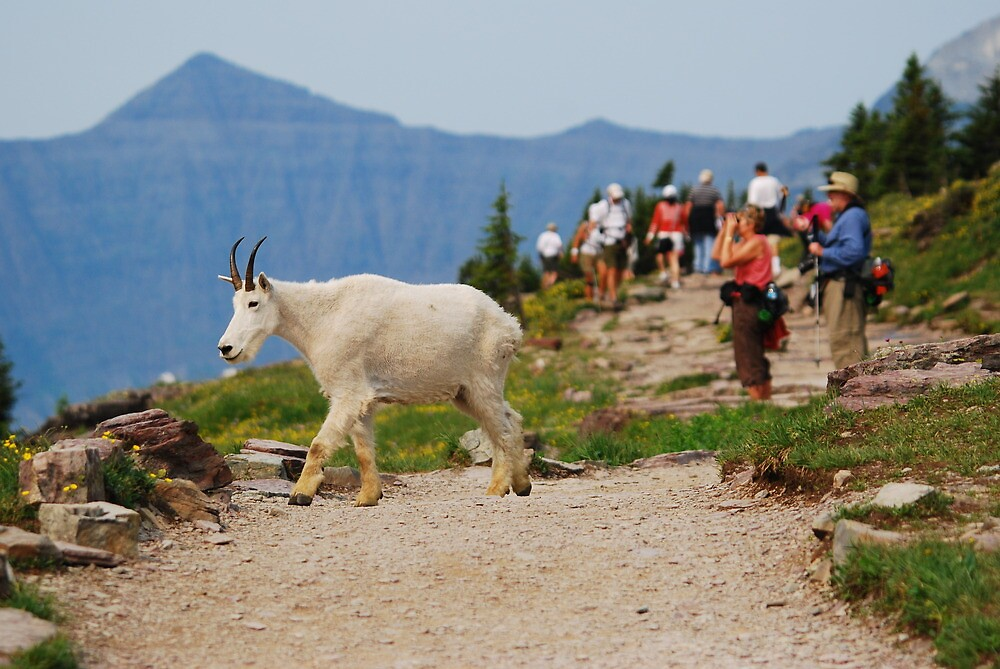 Goat Crossing by Octoman