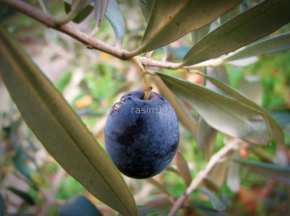 An olive at the branch by rasim1