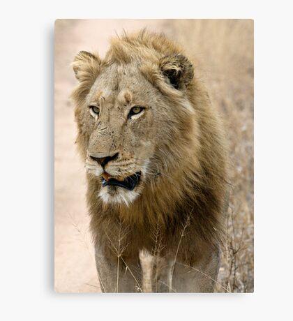 Male Lion Canvas Print