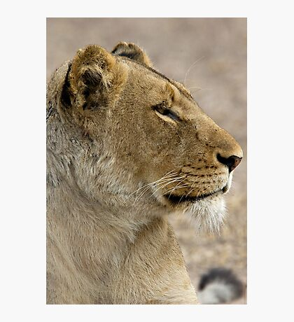 Lioness Profile Photographic Print