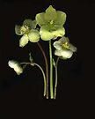 Heleborus by Barbara Wyeth